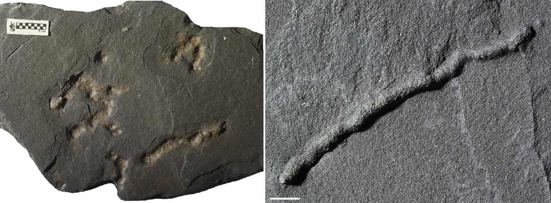 Las segundas huellas más antiguas de este tipo encontradas; databan de aproximadamente 600 millones de años