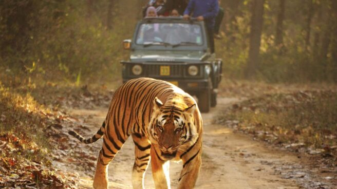 Un tigre de bengala.