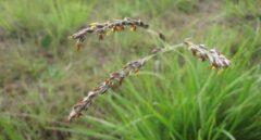 La hierba puede robar genes de plantas vecinas para atajar en su evolución