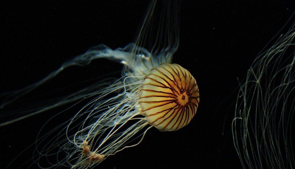 La medusas cuentan con proteínas fluorescentes.