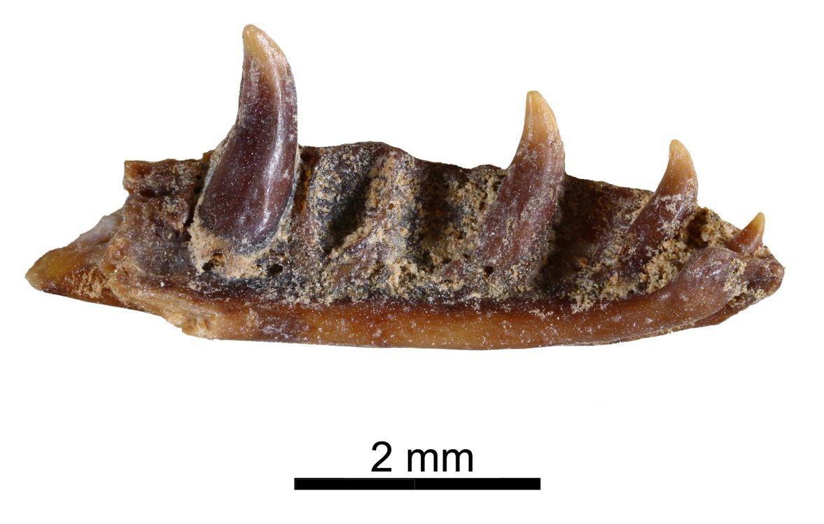 Restos de madíbula del Ophisaurus prehistórico de Murcia