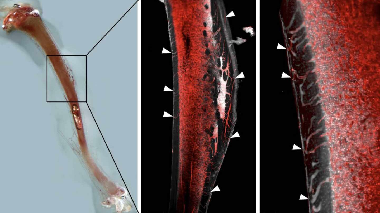 Vasos sanguíneos descubiertos en los huesos, aquí, en un roedor