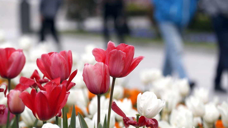 Varios tulipanes en Bilbao