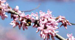 Un abejorro recoge polen de un árbol en flor este miércoles en Bilbao.