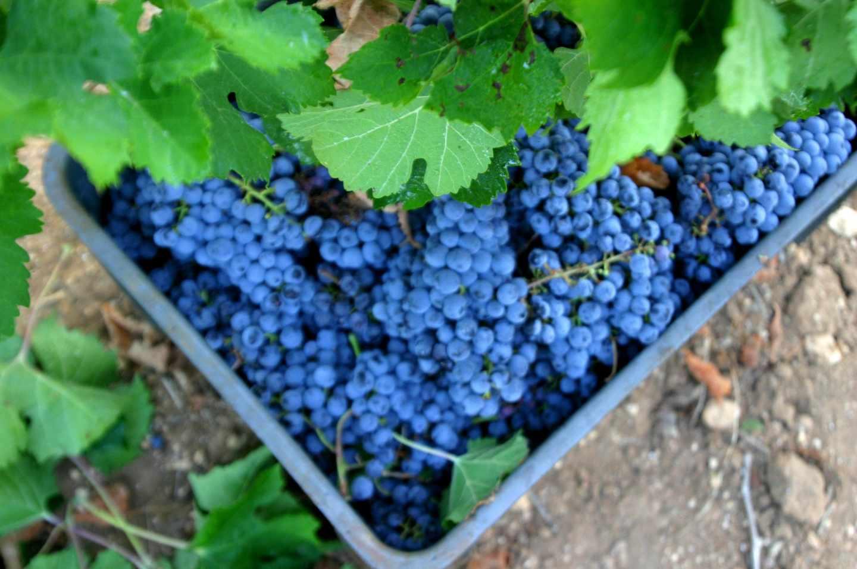 Uvas de Mallorca.