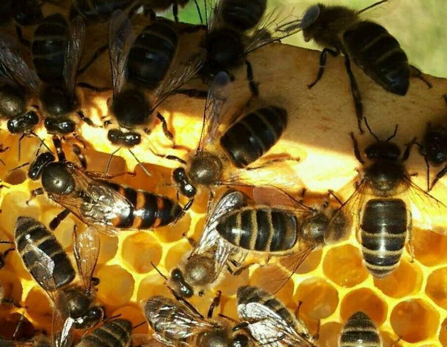 Cerca 250.000 especies de plantas dependen de la labor polinizadora de las abejas.