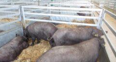 Un grupo de cerdos estabulados.