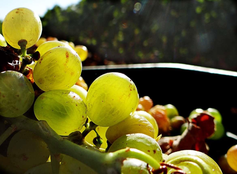 Pepitas de uva para el motor de su coche
