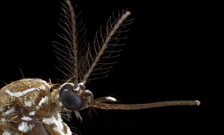 En las antenas del mosquito hembra está parte del mecanismo que les lleva a elegir a sus víctimas