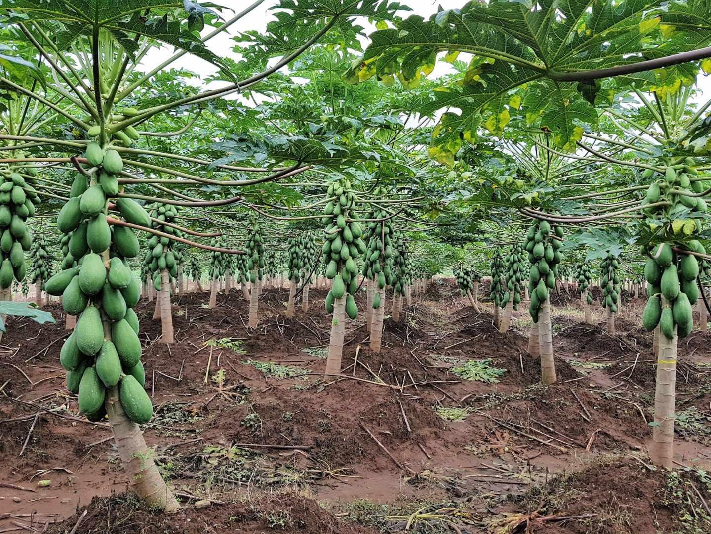 Uno de los problemas que se plantea el mundo agrícola es cómo mejorar las proteínas de las plantas de cultivo.