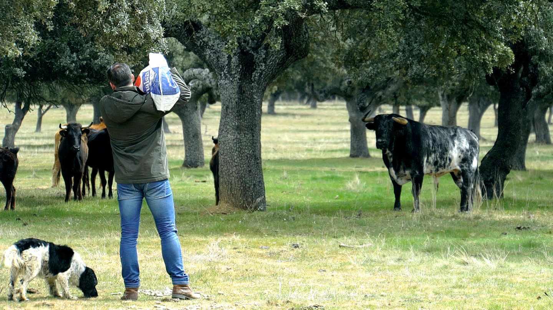 Abascal echa pienso a las vacas ante la atenta mirada de un semental