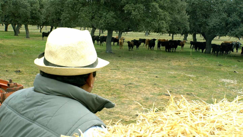 Un cuidador de la finca contempla la ganadería