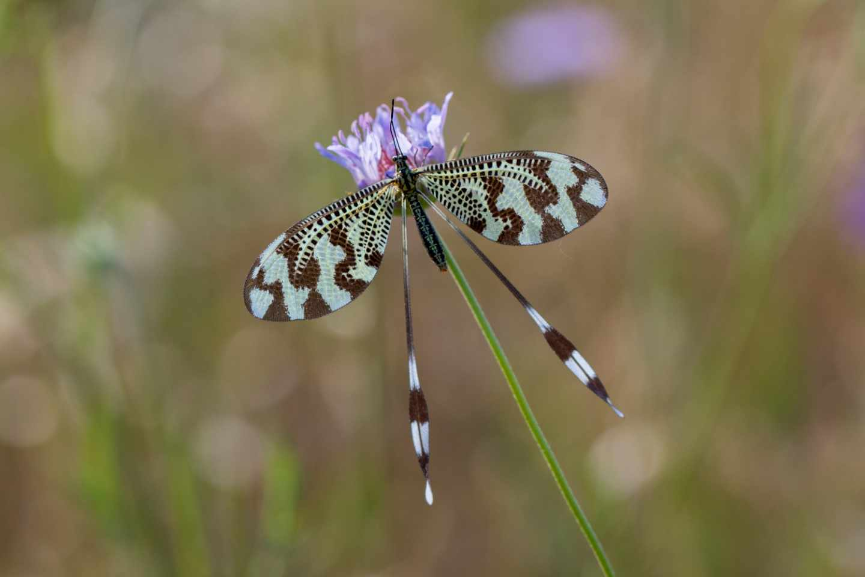 La nemóptera o duende es uno de los insectos más fascinantes y desconocidos de nuestro territorio.