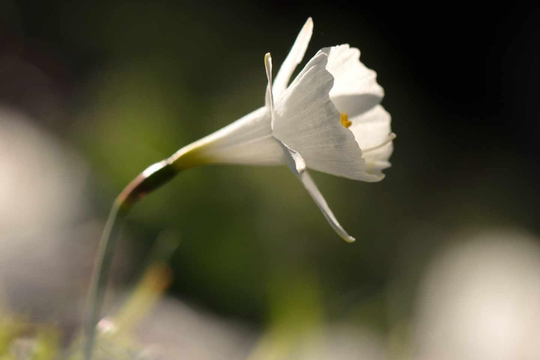 Hasta seis especies de narcisos crecen en Madrid, siendo Narcissus cantabricus el único de flores blancas.