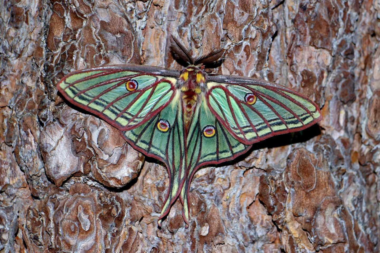 La mariposa isabelina, emblema de nuestra Sierra, deslumbra por su espectacular colorido y su belleza.