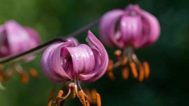 Muy escasa en la Comunidad de Madrid, la singular azucena silvestre es una de nuestras joyas botánicas.