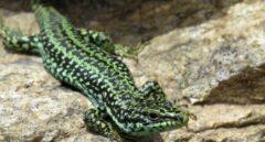 La lagartija carpetana solo está presente en la Sierra de Guadarrama y en otras montañas del Sistema Central.