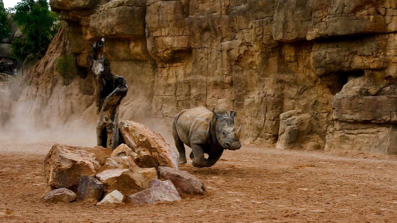 Un rinoceronte a la carrera en el Bioparc de Valencia