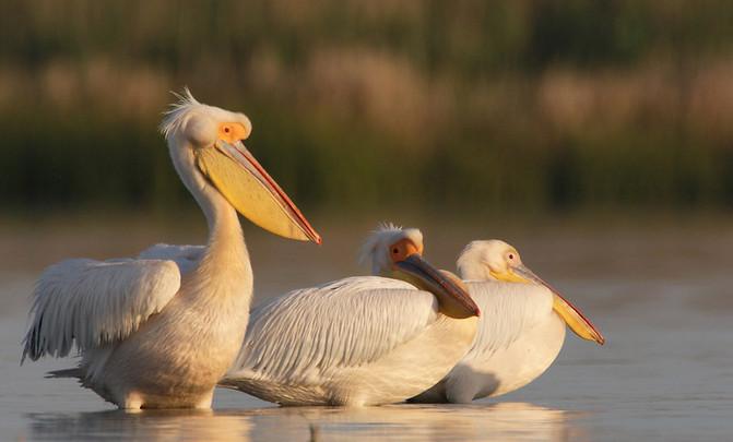 Pelícanos en la reserva del delta del Danuvio, en Rumanía