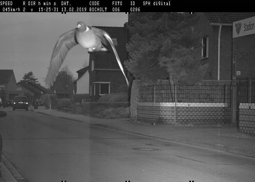 Una paloma fue multada por ir a exceso de velocidad