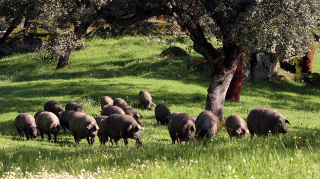 La sombra de la peste porcina golpea a Viscofan: sufre su mayor caída en siete meses.