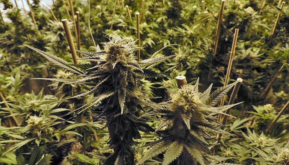 Plantación de marihuana.
