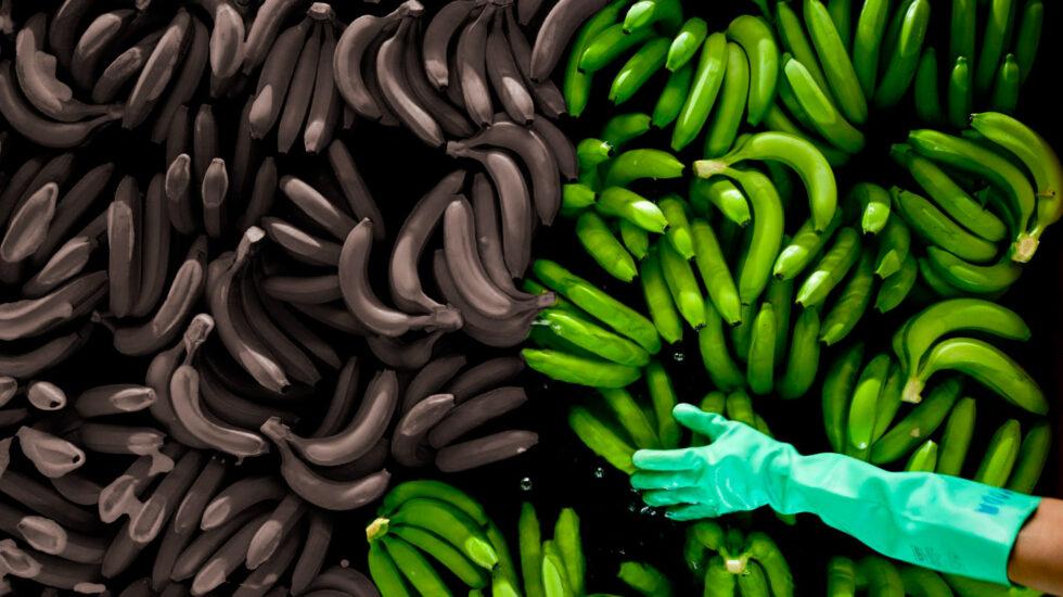 El plátano, un cultivo amenazado por varias enfermedades