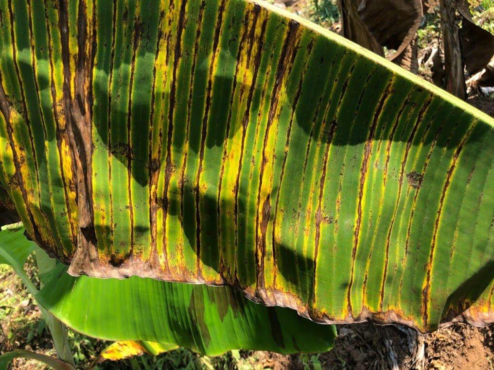 Rayas producidas por las toxinas del hongo de la sigatoka