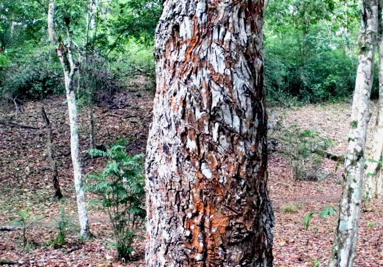 Tronco de un árbol del chicle en la selva de Guatemala