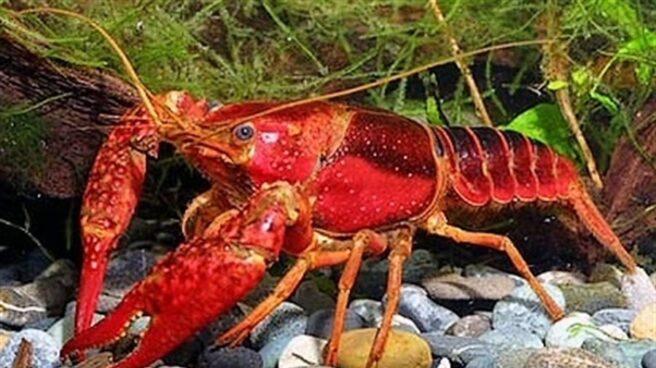 Cangrejo rojo vivo