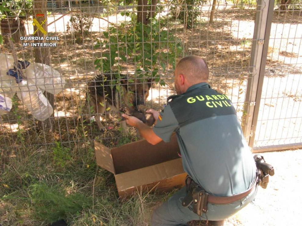 Agentes de la Guardia Civil rescatan a seis cachorros de pastor alemán enterrados vivos