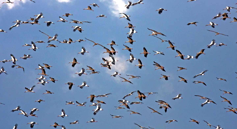 Cigüeñas durante su migración a su paso por el Estrecho