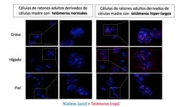 Crean ratones más longevos, inmunes al cáncer y la obesidad, sin manipular su ADN