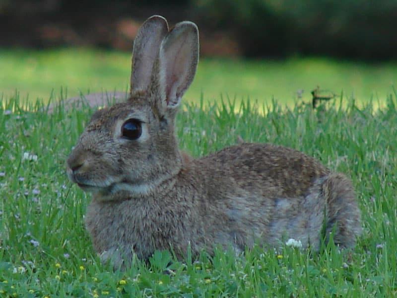 Malas noticias: el conejo europeo está en peligro de extinción