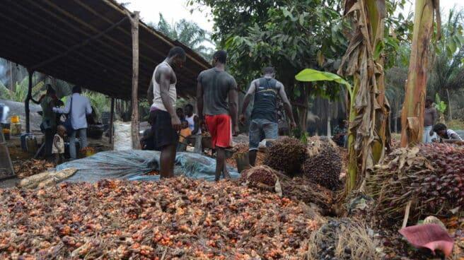 El proceso de recolección tradicional de palma en Camerún.