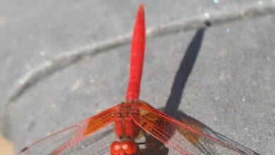 <i>Trithemis kirbyi</i>, la libélula marroquí que ha conquistado la península en una década