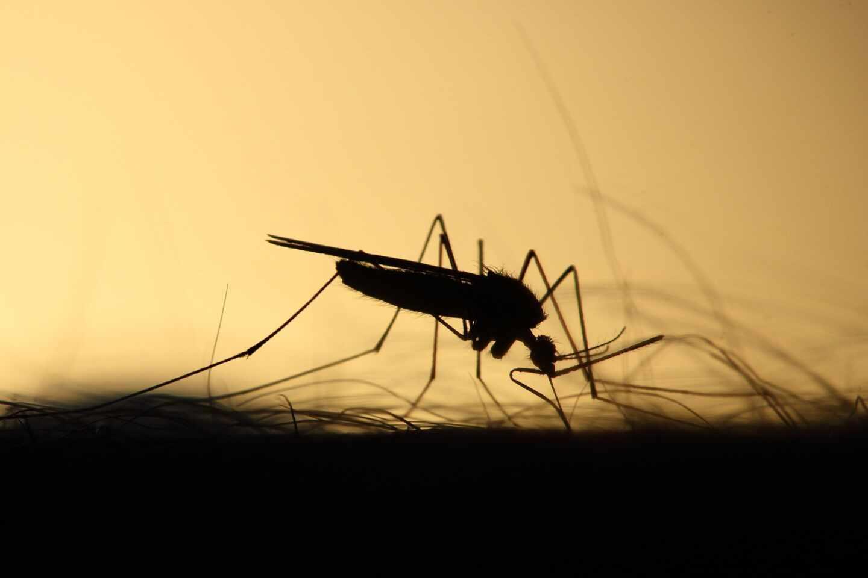 El mosquito, el mayor asesino de la humanidad y el vencedor del cambio climático
