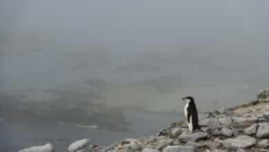La dramática desaparición del pingüino barbijo en la Antártida