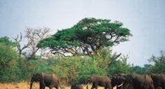 Zimbabue baraja una matanza masiva de elefantes para reducir la población
