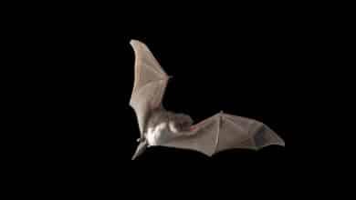 Murciélagos, la especie que ya sabíamos que traería otra pandemia
