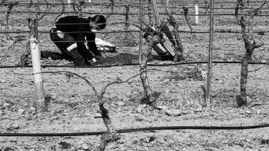 'Stock' de lechazo, fresa sin recoger y furgonetas vacías: el impacto en el campo