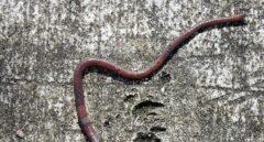 Hay gusanos con muerte programada a favor de su comunidad