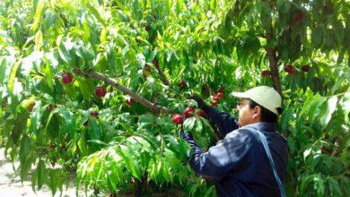 """Los parados de """"proximidad"""", al rescate de la fruta española: el campo aplaude las medidas del Gobierno"""