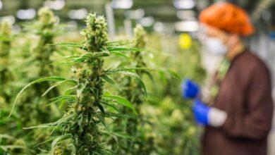 La legalización de la marihuana pide paso en la nueva realidad