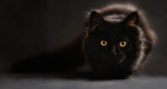 Muere Negrito, el primer gato infectado por coronavirus en España