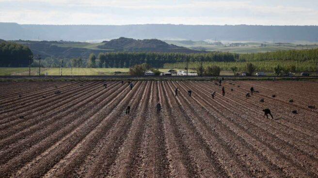 Trabajadores en una plantación de espárragos en Guadalajara.