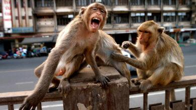 La incontrolable rebelión de los monos en Asia