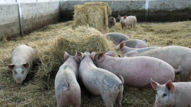Lo que unos zorros infectados en Galicia y la nueva gripe porcina nos dicen de nuestra Salud
