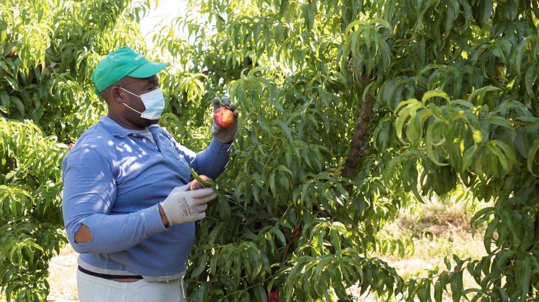 Un temporero trabaja en una plantación en Zaidín (Huesca).