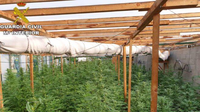 Una plantación de marihuana.